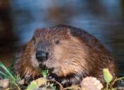beaver by Bob Birdsall